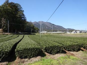 200312水沢めぐり07、茶畑.JPG