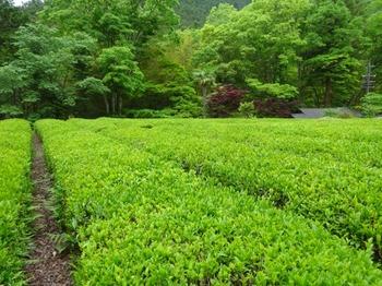 200522茶山調査「美杉町」13、川上山茶園(畝).JPG
