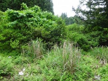 200522茶山調査「美杉町」25、清水峠美杉町側の茶藪.JPG