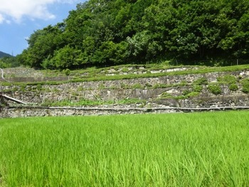 200623飯南町深野03、夏明のだんだん茶園.JPG