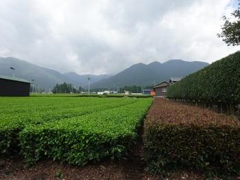 200731かぶせ茶カフェ11、手摘み体験茶園.JPG