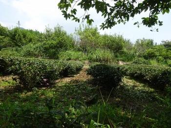 200806茶山合同調査12「三多気」05、茶園.JPG