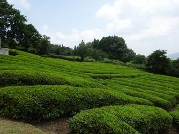 200806茶山合同調査12「三多気」06、茶園.JPG