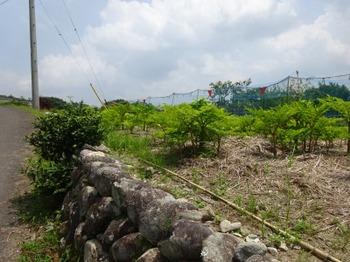 200806茶山合同調査12「三多気」18、蒟蒻芋畑.JPG