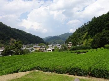 200824美杉茶20、よこや製茶.JPG