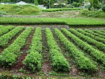 200903田中家資料館17、田中家の茶園.JPG